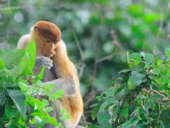 proboscis monkey(female)